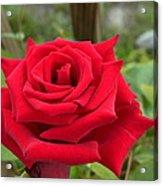 Garden Red Rose Acrylic Print