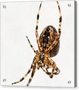 Garden Spider Profile Acrylic Print