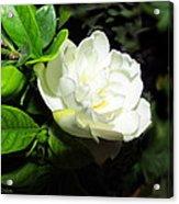 Gardenia 2013 Acrylic Print