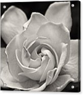 Gardenia Bloom In Sepia Acrylic Print