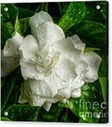 Gardenia In The Rain Acrylic Print