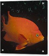 Garibaldi Channel Islands Np California Acrylic Print