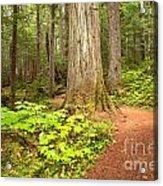 Garibaldi Wilderness Rainforest Acrylic Print