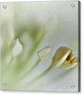 Garlic Chive Blossom Acrylic Print
