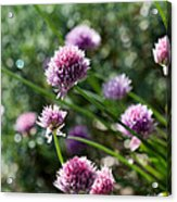 Garlic Chives Flowers Acrylic Print