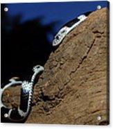 Garter Snake Genus Elapsoidea Acrylic Print