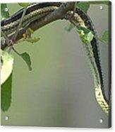 Garter Snake In Apple Tree Acrylic Print