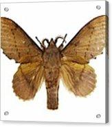 Gastropacha Quercifolia Moth Acrylic Print