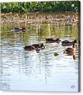 Gathering - Mallars Ducks In Creek Enkopingsaan  Acrylic Print