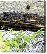 Gator Camoflage Acrylic Print