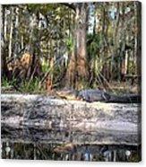 Gator Country Acrylic Print by Bob Jackson