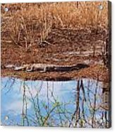 Gator Day Acrylic Print