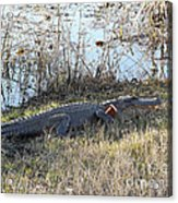 Gator Football Acrylic Print by Al Powell Photography USA