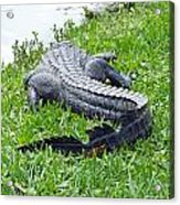 Gator In The Grass Acrylic Print