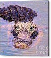 Gator Looking  Acrylic Print