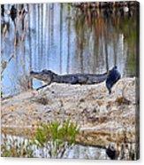 Gator On The Mound Acrylic Print