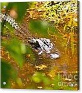 Gator On The Move Acrylic Print
