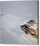 Gator Profile 1 Acrylic Print