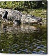 Gator Smile Acrylic Print