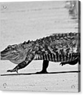 Gator Walking Acrylic Print