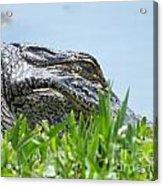 Gator Watching Acrylic Print