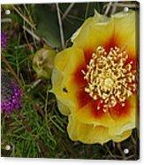 Gattinger's Prairie Clover And Prickly Pear Flower Acrylic Print