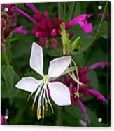 Gaura Lindheimeri Whirling Butterflies With Agastache Ava Acrylic Print