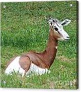 Gazelle At Rest 1 Acrylic Print