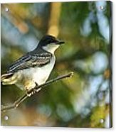 Gazing Eastern Kingbird  Acrylic Print