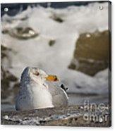 Gazing Gull Acrylic Print