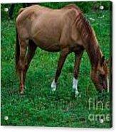 Gazing Horse Acrylic Print