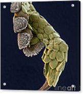Gecko Foot Sem Acrylic Print
