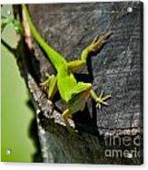 Gecko Acrylic Print