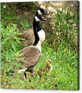 Geese And Gosling Acrylic Print