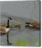 Geese And Goslings At The Flint River Acrylic Print
