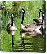 Geese And Green Acrylic Print