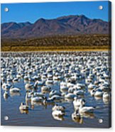 Geese At Bosque Del Apache Acrylic Print by Kurt Van Wagner