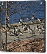 Geese At Port Landing Acrylic Print