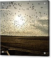 Geese At Sunset Acrylic Print