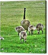 Geese Hdr Acrylic Print