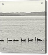 Geese In A Row Acrylic Print