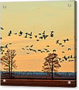 Geese In Flight I Acrylic Print