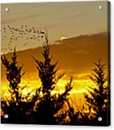 Geese In Golden Sunset Acrylic Print