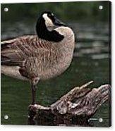 Geese Acrylic Print