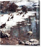 Geese On An Icy Pond Acrylic Print
