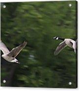 Geese Pair In Flight Acrylic Print