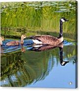 Geese Ripples Acrylic Print