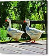 Geese Strolling In The Garden Acrylic Print by Tracie Kaska