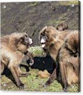Gelada Baboons Threat Display Acrylic Print