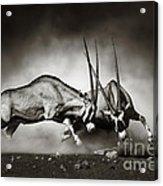Gemsbok Fight Acrylic Print